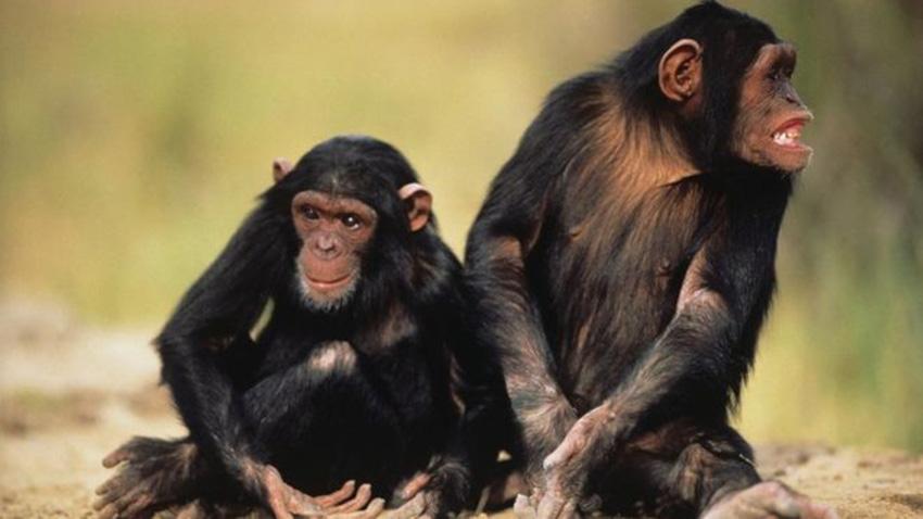 Chimpanzee-sancharkarmi-gettyimage