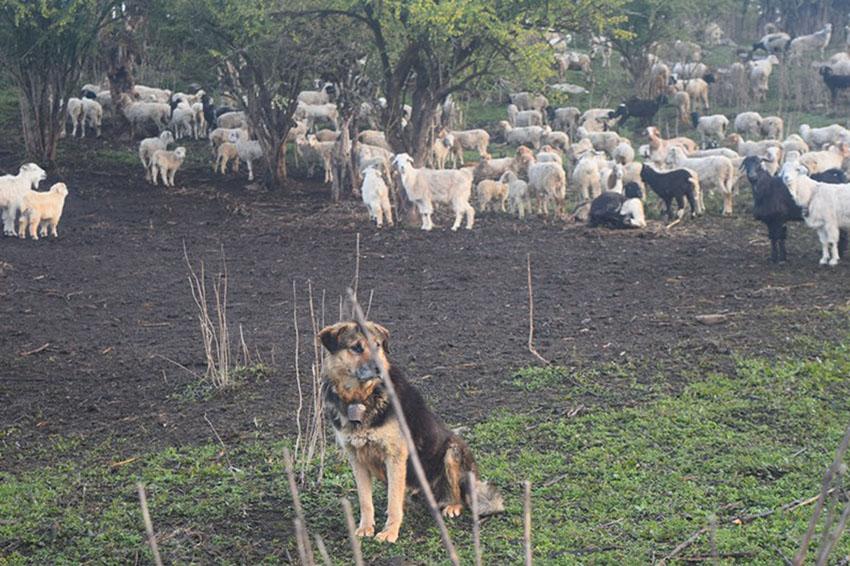 Dog-festive-kukur tihar yampanchak